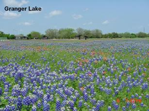bluebonnets in the park