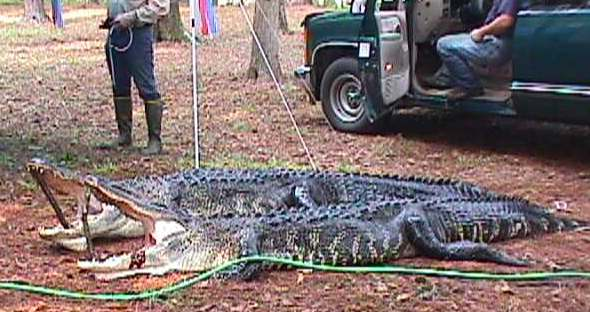 Due To Ideal Habitat There Is A Very Healthy Population Of American Alligators Found On The Project Allowing A Limited Number Of Permits To Be Offered
